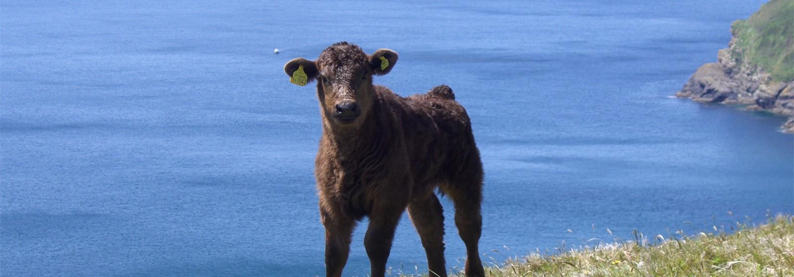 Coastal Calf!
